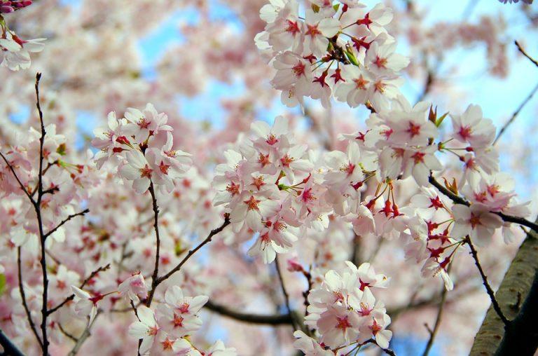 Święto Kwitnącej Wiśni pod patronatem marszałka
