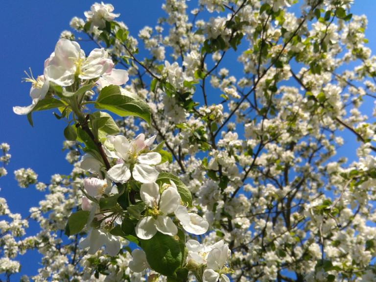Święto Kwitnącej Jabłoni pełne atrakcji