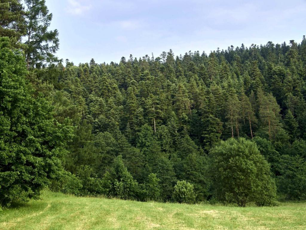 Kawałek polany i drzewostan w Nadleśnictwie Suchedniów Góra Sieradowska